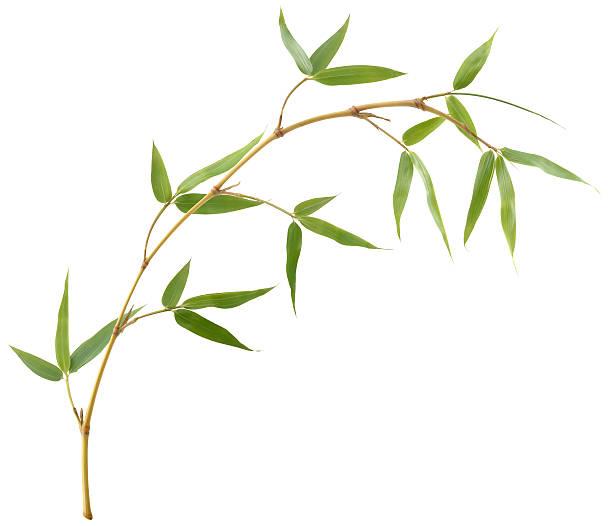 Bamboo Branch stock photo