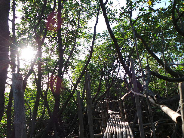 Bamboo bridge at mangrove area in Apo Reef. Century old mangrooves, rich coral and marine biodiversity are found in Apo Reef. apothegm stock pictures, royalty-free photos & images