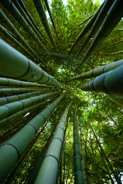 Bamboo canes seen from below - foto stock