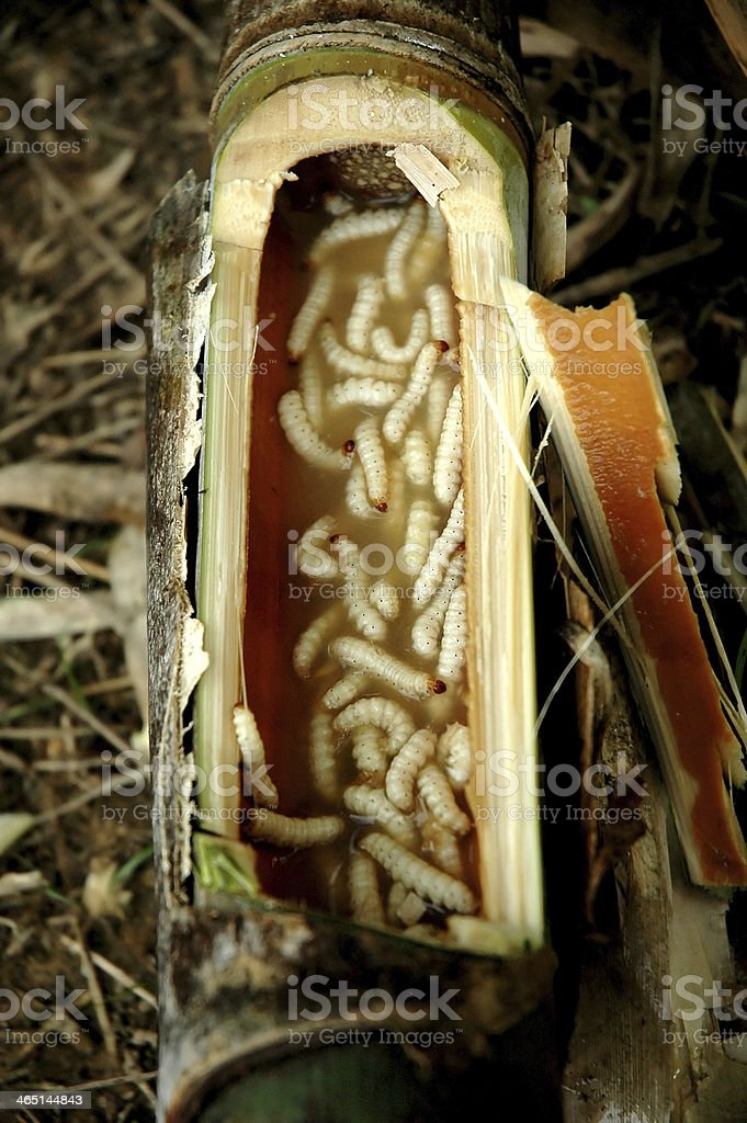 bamboo caterpillar stock photo