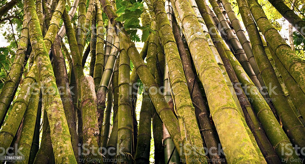 Bamboo Covered in Moss royalty-free stock photo
