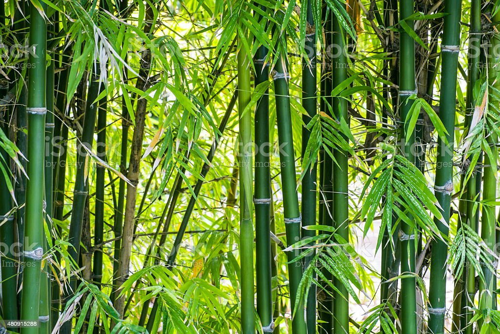 Bamboo forest background stock photo