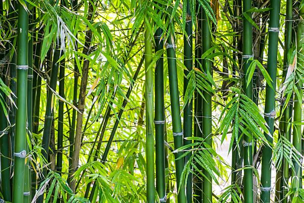 Fondo de bosque de bambú - foto de stock