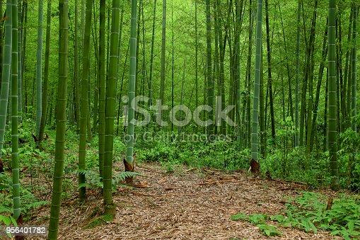 Bamboo forest, Hunan Provence, China