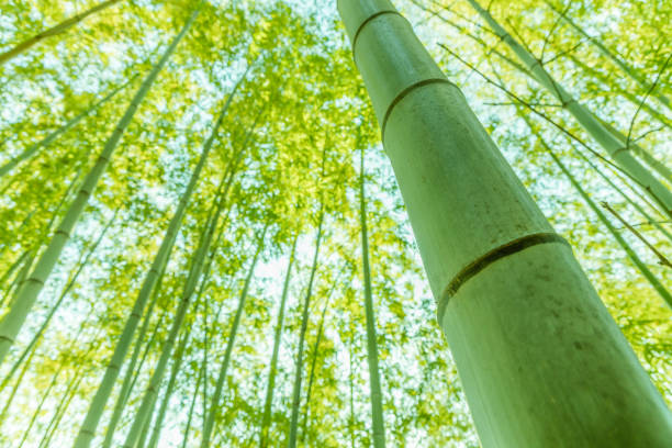 Bamboo forest full of light Bamboo forest full of light sentimentality stock pictures, royalty-free photos & images