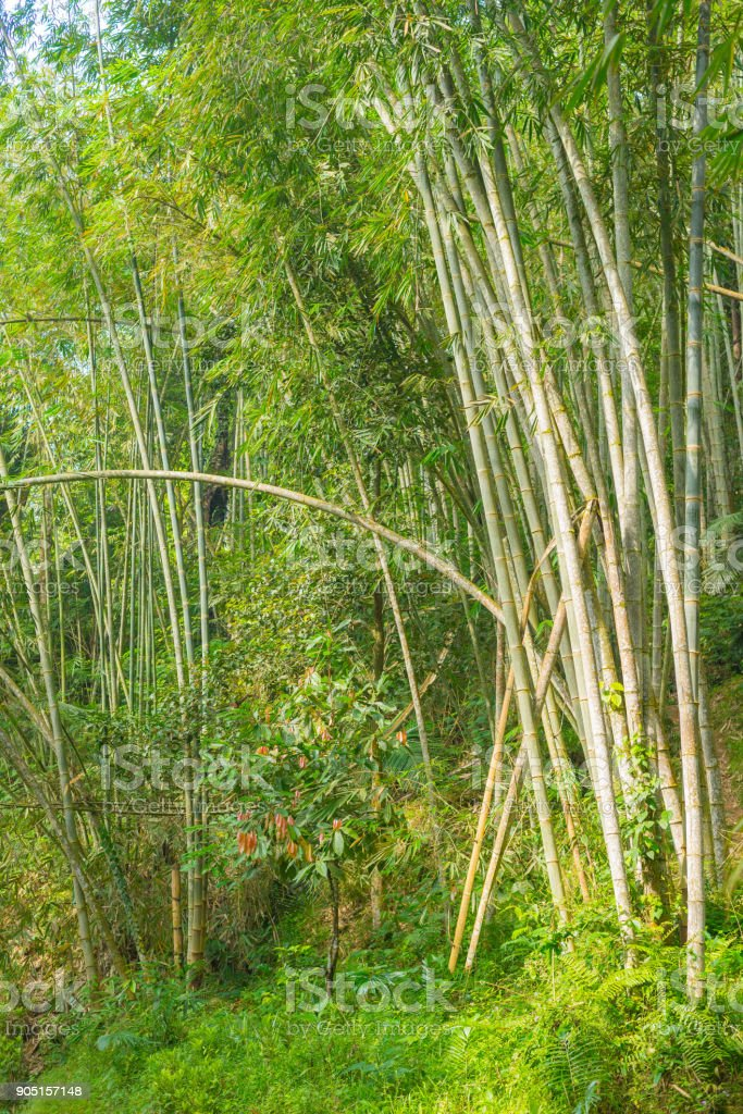 Bamboo forest, green bamboo grove in morning sunlight, Sulawesi, Indonesia. stock photo