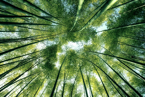 istock Bamboo forest in Japan 1129053212