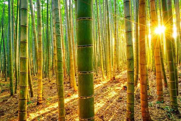 Bambus-Wald in Japan – Foto
