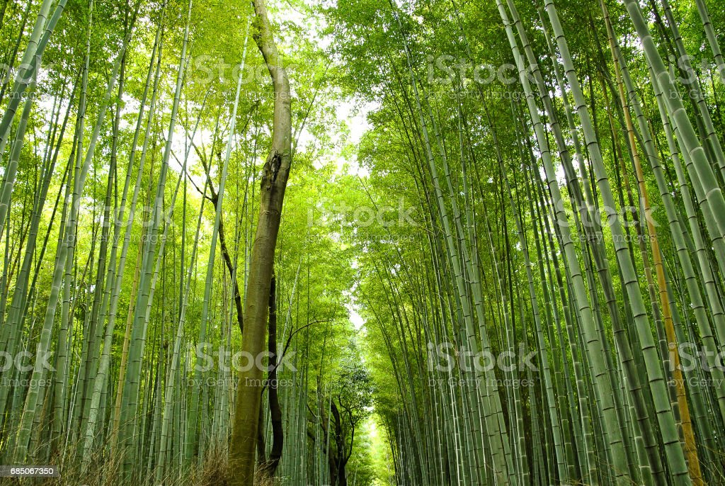 Bamboo forest in Japan royalty-free stock photo