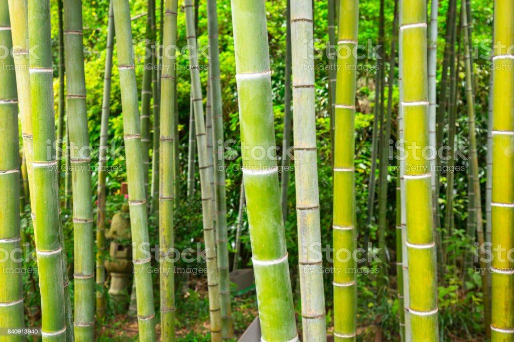 Bamboo forest in Kamakura stock photo