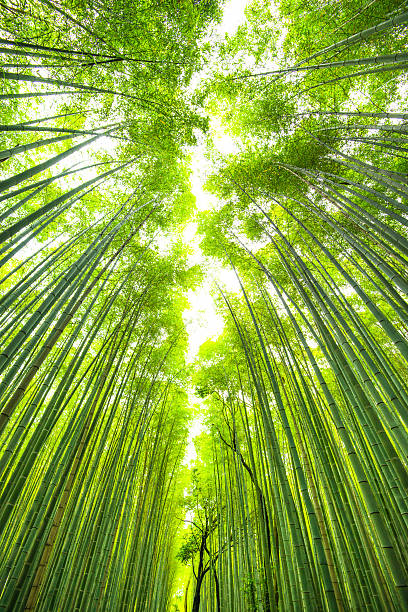 bamboo forest in kyoto japan stock photo
