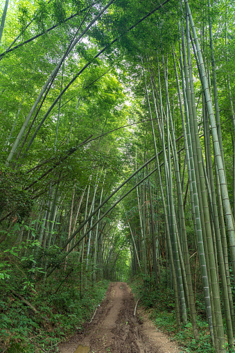 Bamboo forest in the mountains