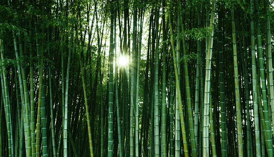 Bamboo forest in the sunlight. Natural ecological material. Spa banner
