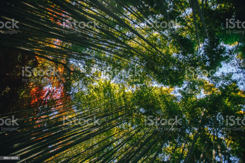 Bamboo Forest is a natural forest of bamboo located in Arashiyama, Kyoto, Japan. zbiór zdjęć royalty-free