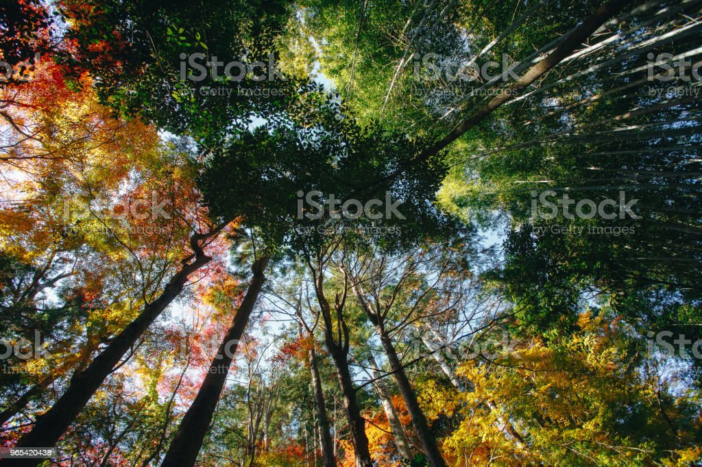 Bamboo Forest is a natural forest of bamboo located in Arashiyama, Kyoto, Japan. royalty-free stock photo