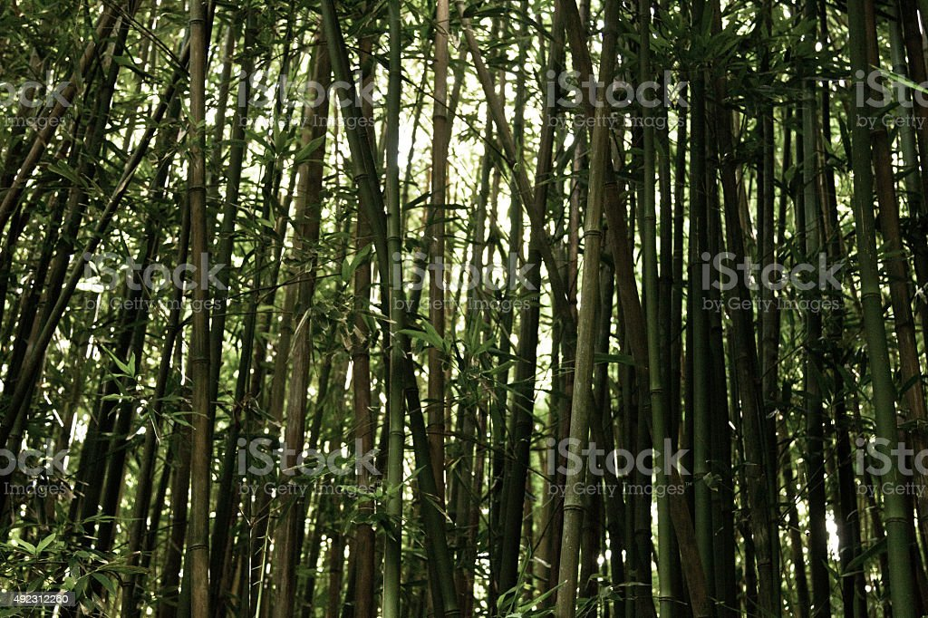 Bamboo Forest, Maui stock photo