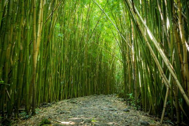 Bamboo forest on Maui. stock photo
