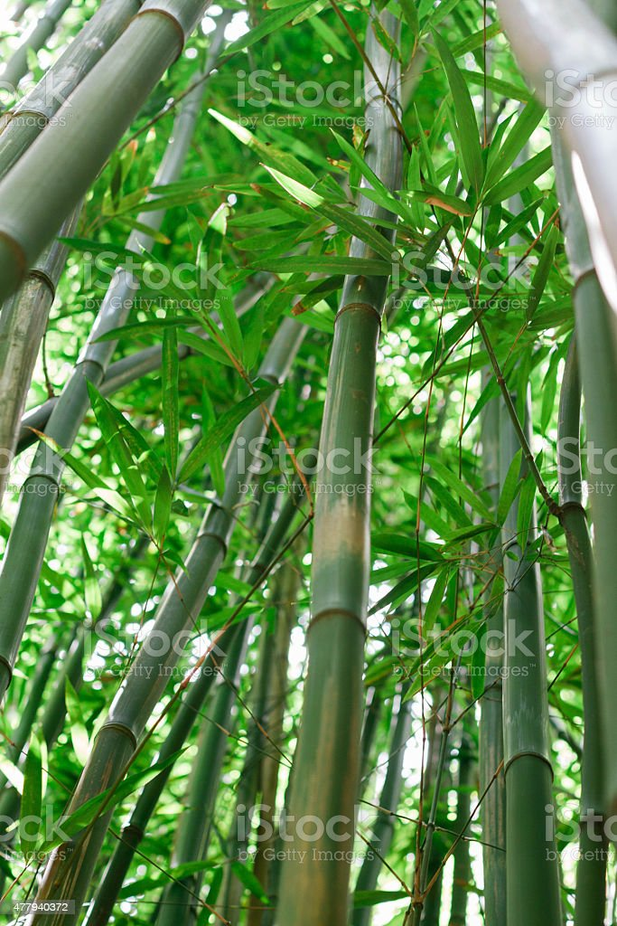 Bamboo forest on Pipiwai Trail stock photo