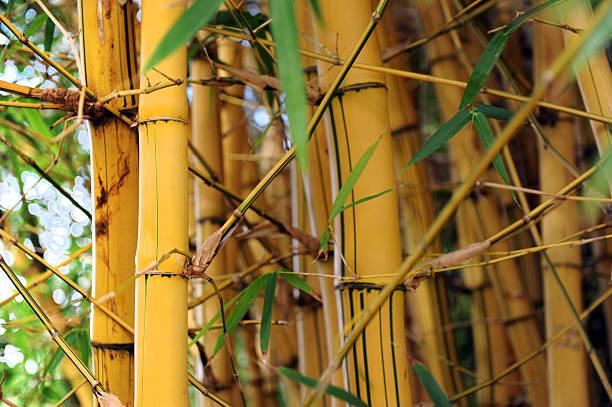 Bambus-Wald – Foto
