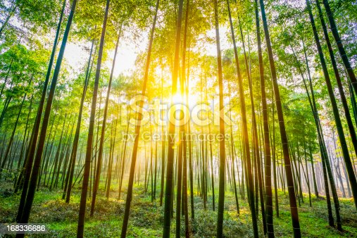 green clean bamboo of forest in china.adobe rgb 1998 use...........