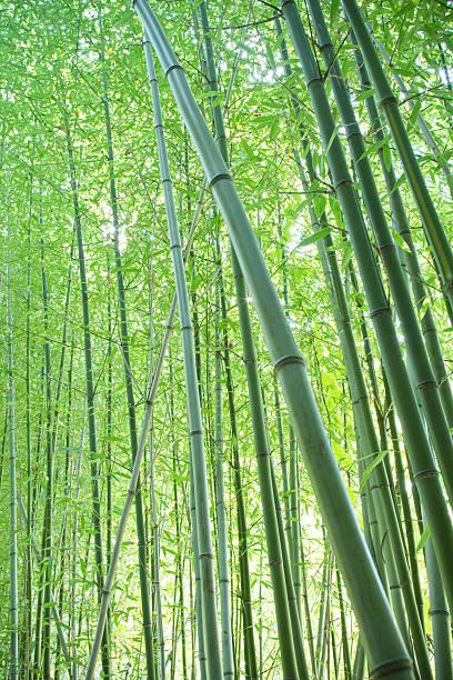 Bosque de bambú - foto de stock