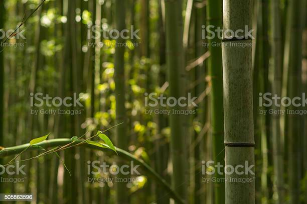 Bamboo Forest Stock Photo - Download Image Now