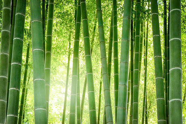 Bambuswald Bilder Und Stockfotos Istock