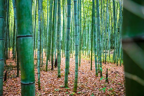 bambus-wald  - japanischer garten stock-fotos und bilder