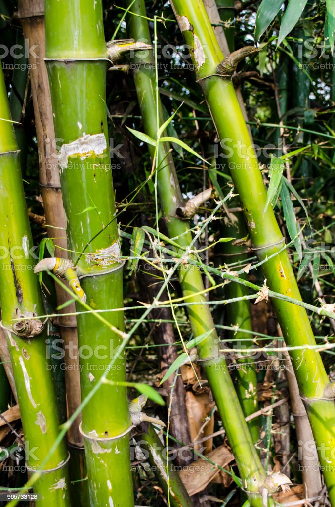 Bamboo forest - Royalty-free Archival Stock Photo