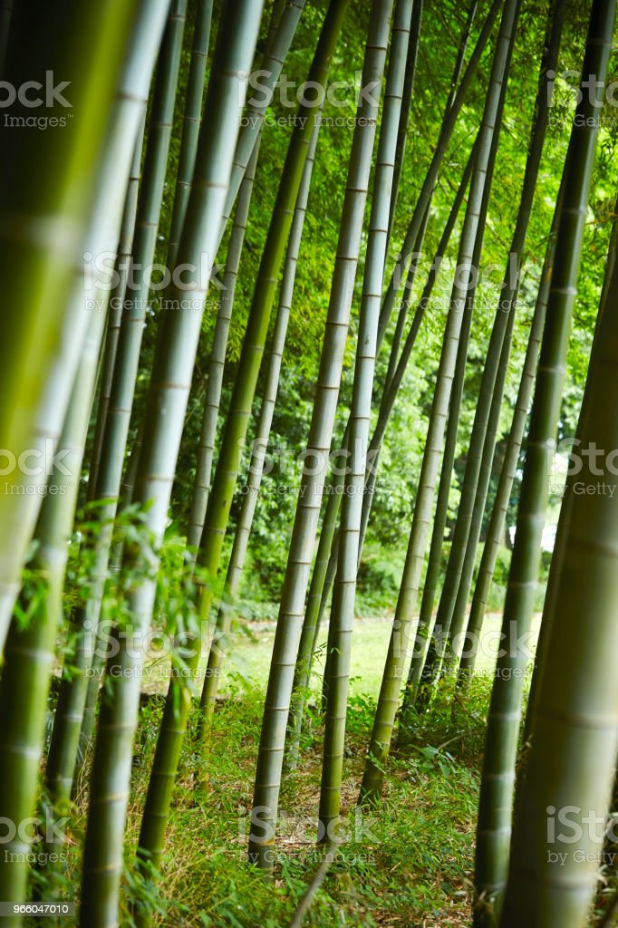 Bambus-Wald  - Lizenzfrei Bambus - Graspflanze Stock-Foto