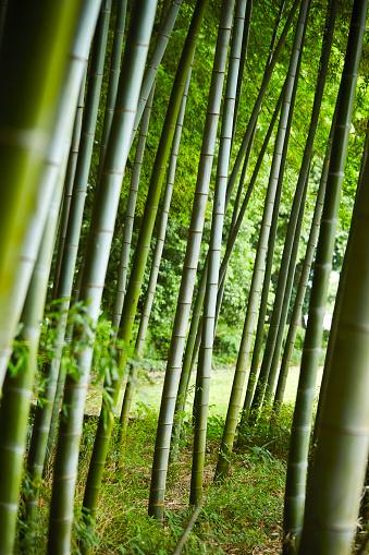 Bambuswald Stockfoto und mehr Bilder von Bambus - Graspflanze