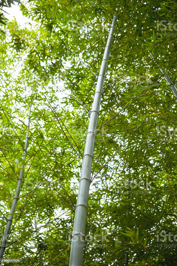 Bamboo forest - Royalty-free Bamboo - Plant Stock Photo