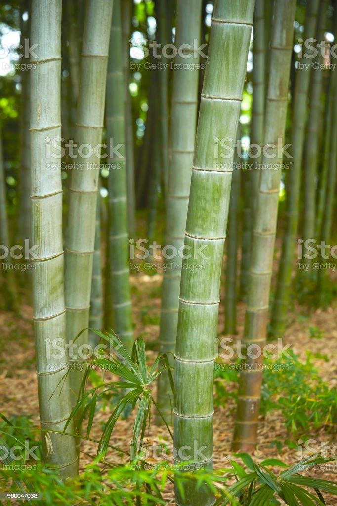 Bambuskog - Royaltyfri Bambu - Gräsfamiljen Bildbanksbilder