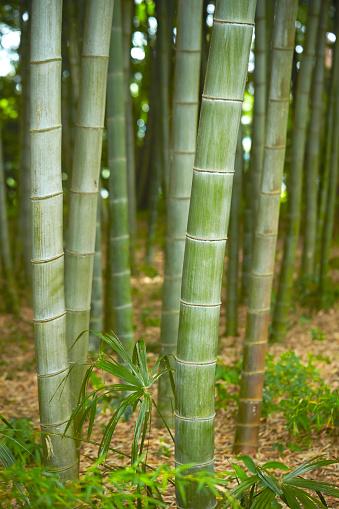Bambuskog-foton och fler bilder på Bambu - Gräsfamiljen