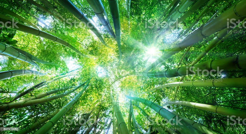 Bamboo Forset stock photo