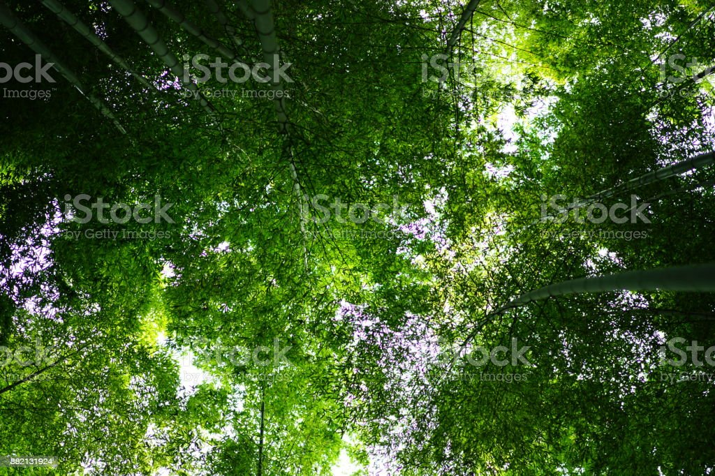 Bamboo garden in Kamakura stock photo