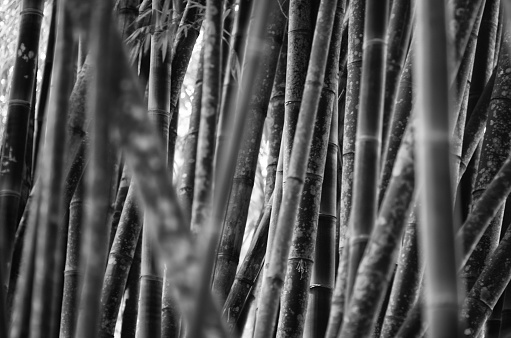 Bamboo Grove Background