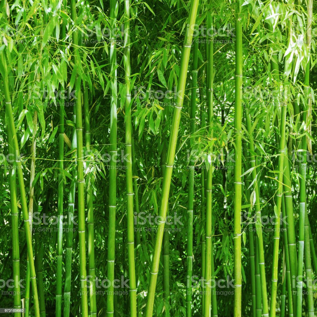 Bamboo Grove Bright Green Plants Background Stock Photo Download Image Now Istock