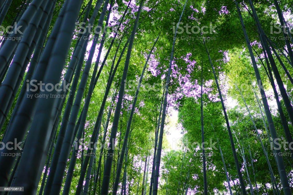 Bamboo grove in a garden stock photo