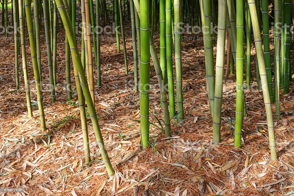 bamboo grove in autumn foto royalty-free