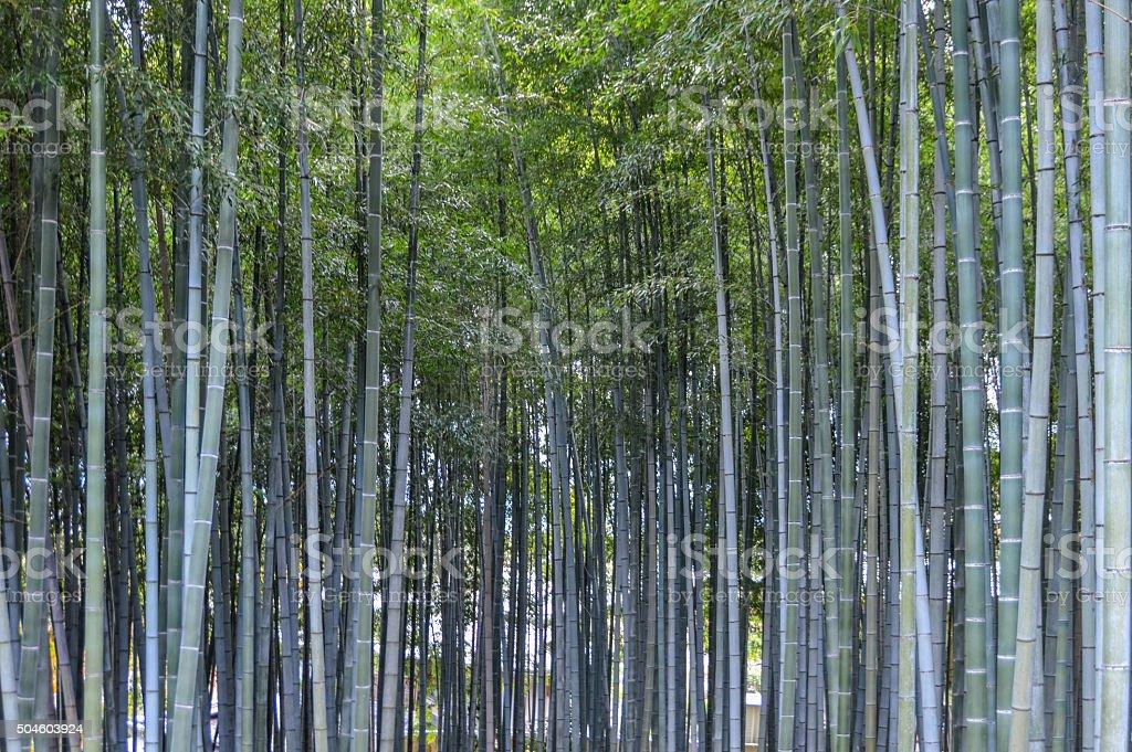 Bamboo Grove - Japan stock photo