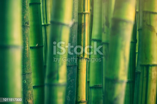 Thick stems of bamboo in the countryside of Luzon island, Philippines.