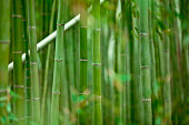 fresh and contrasting shades of green in a dense bamboo grove. shallow dof.
