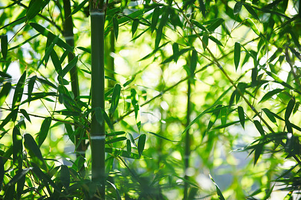 bamboo grove - bamboo stock photos and pictures