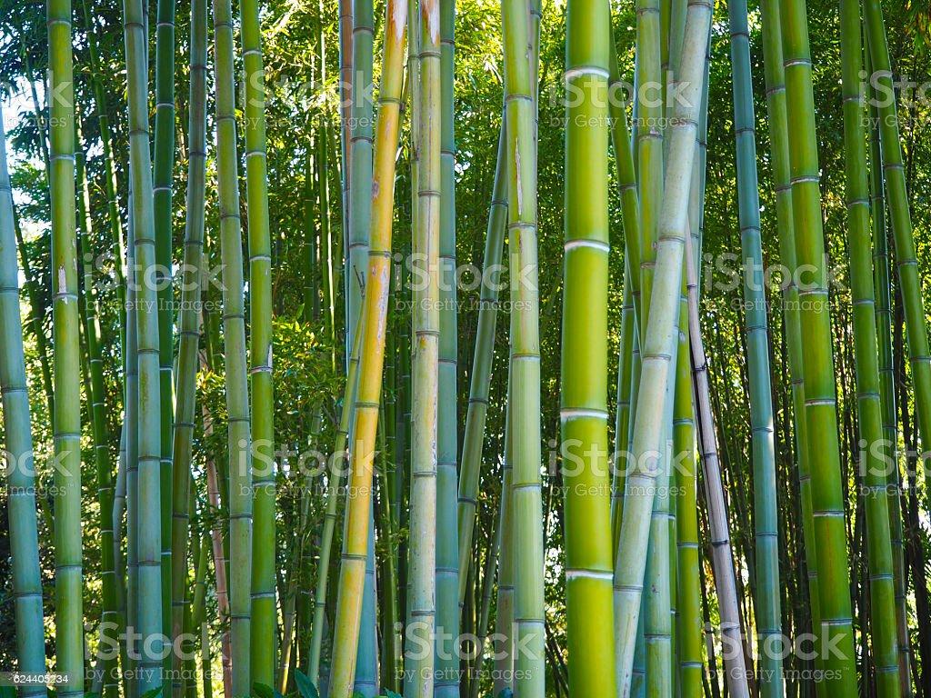 Bamboo grove stock photo