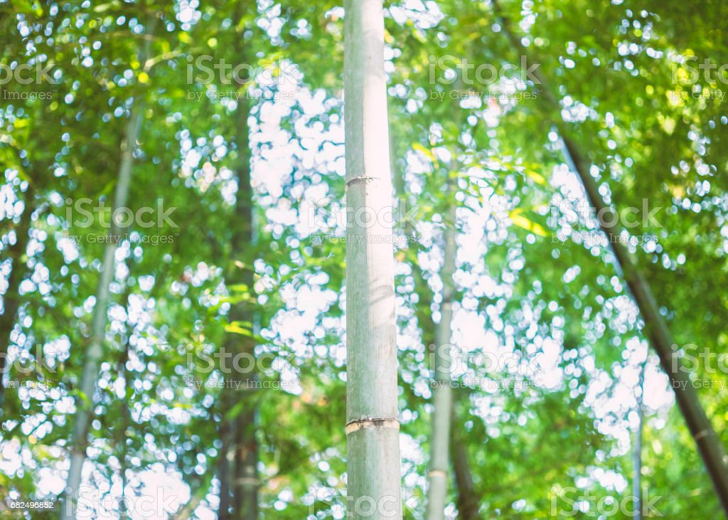 Bambu grove royalty-free stock photo