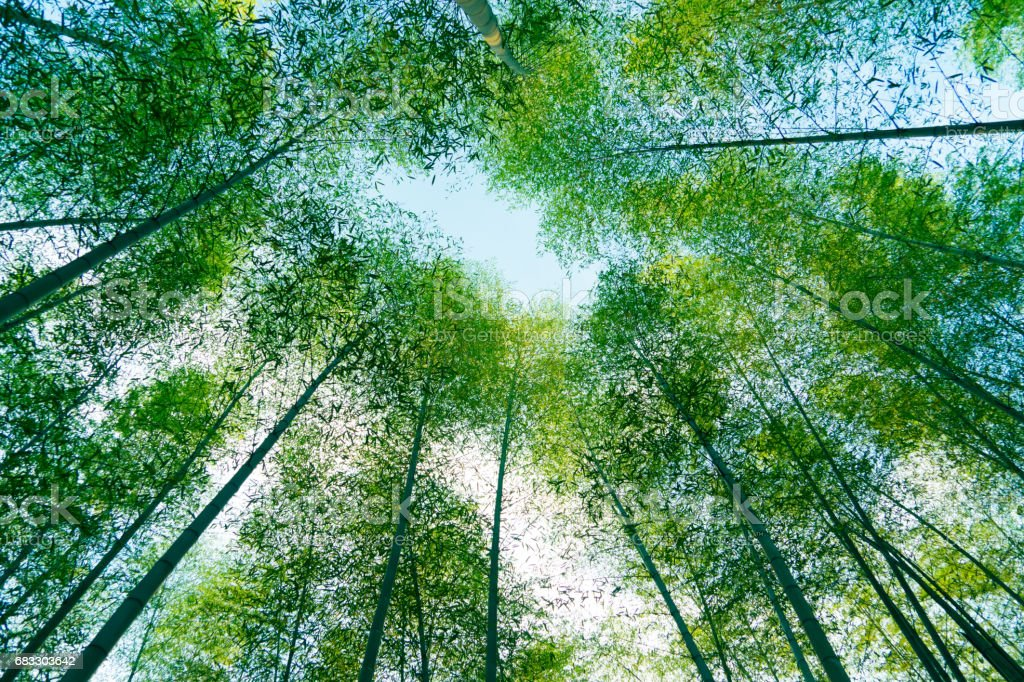 bamboo grove foto stock royalty-free