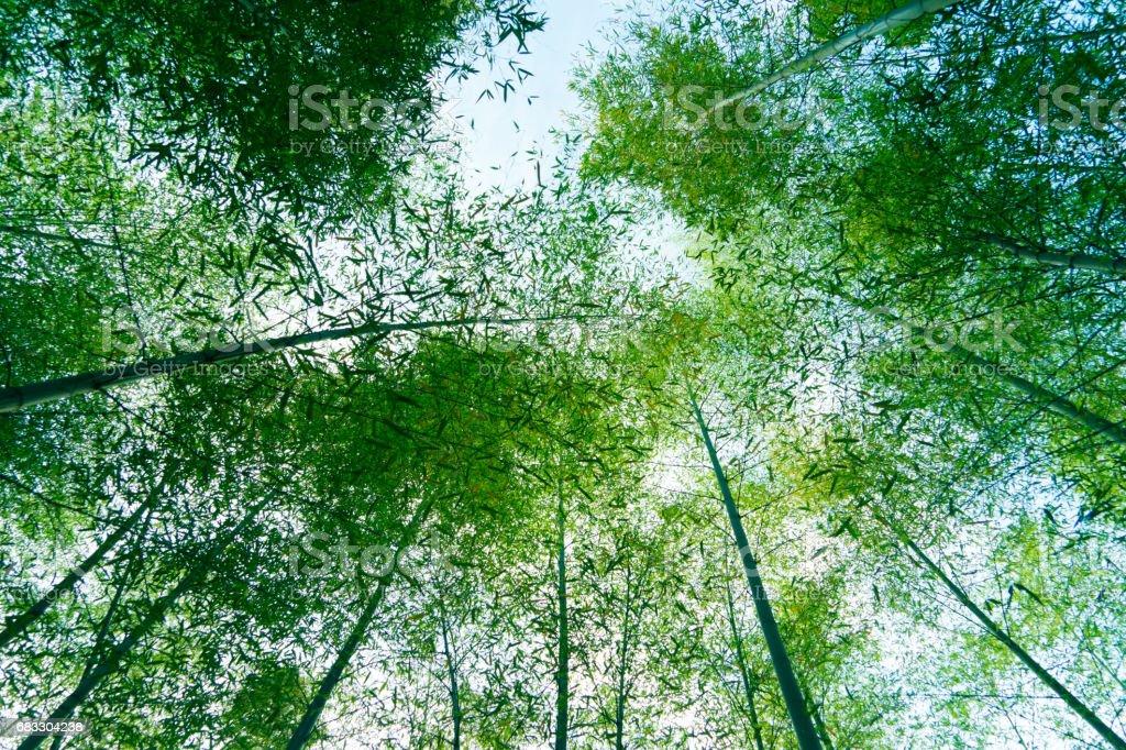 bosquet du bambou photo libre de droits