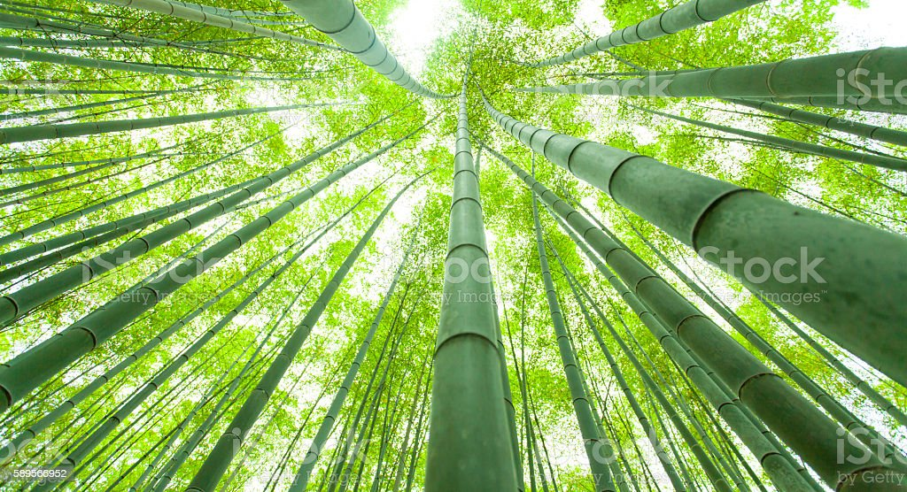 Bamboo growth, look from below stock photo