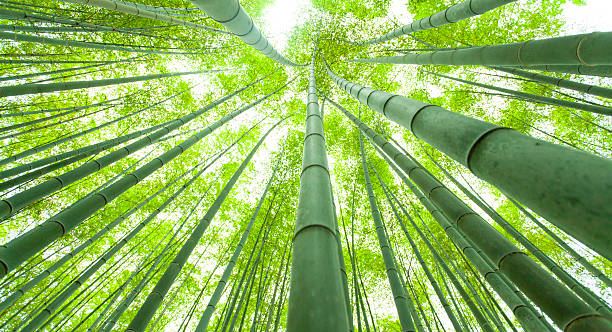 Bamboo growth, look from below圖像檔